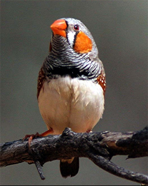 the neuron activity in Zebra Finch brains have discovered that finches ...